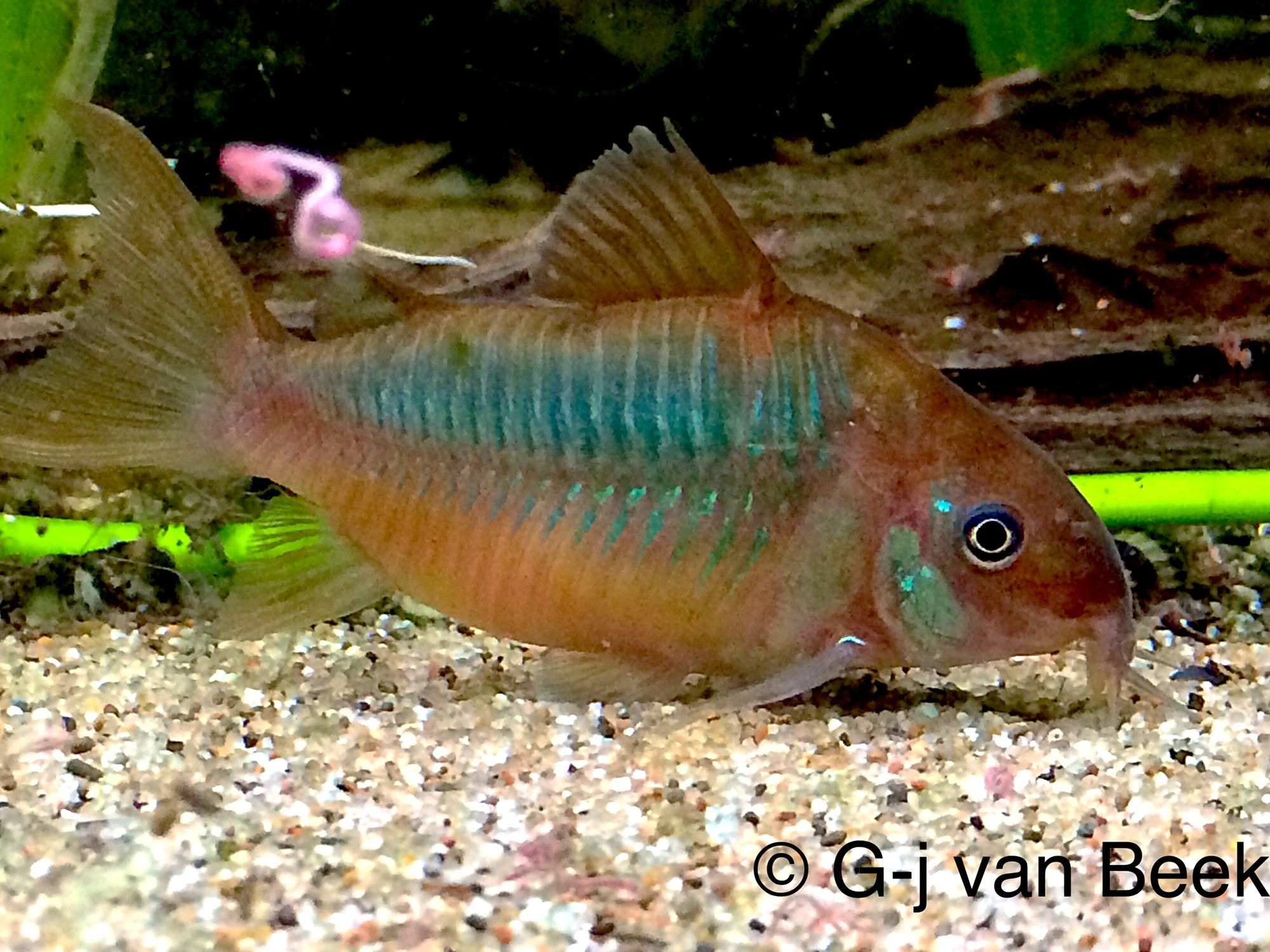 Freshwater aquarium fish crossword - Corydoras Pantalanensis Female