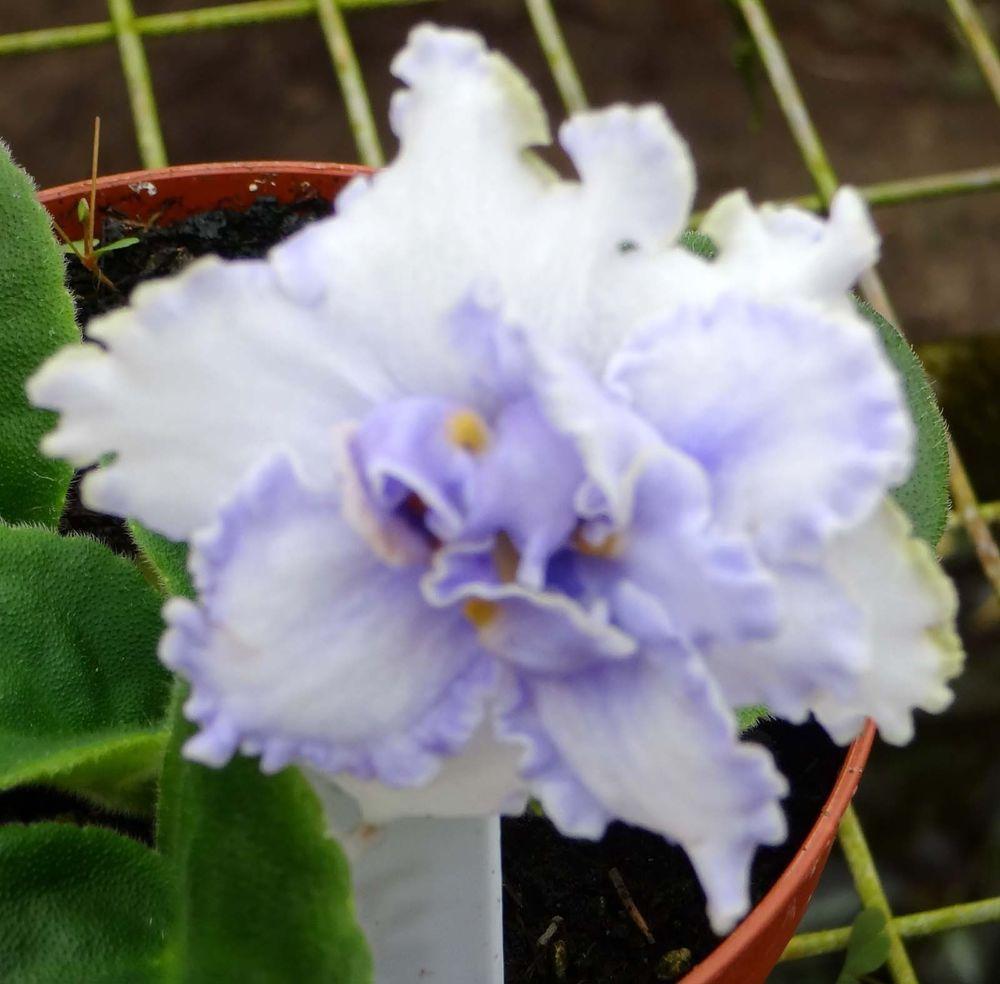 African Violet Solemn Promise Pair Of Leaves Pinterest Violets