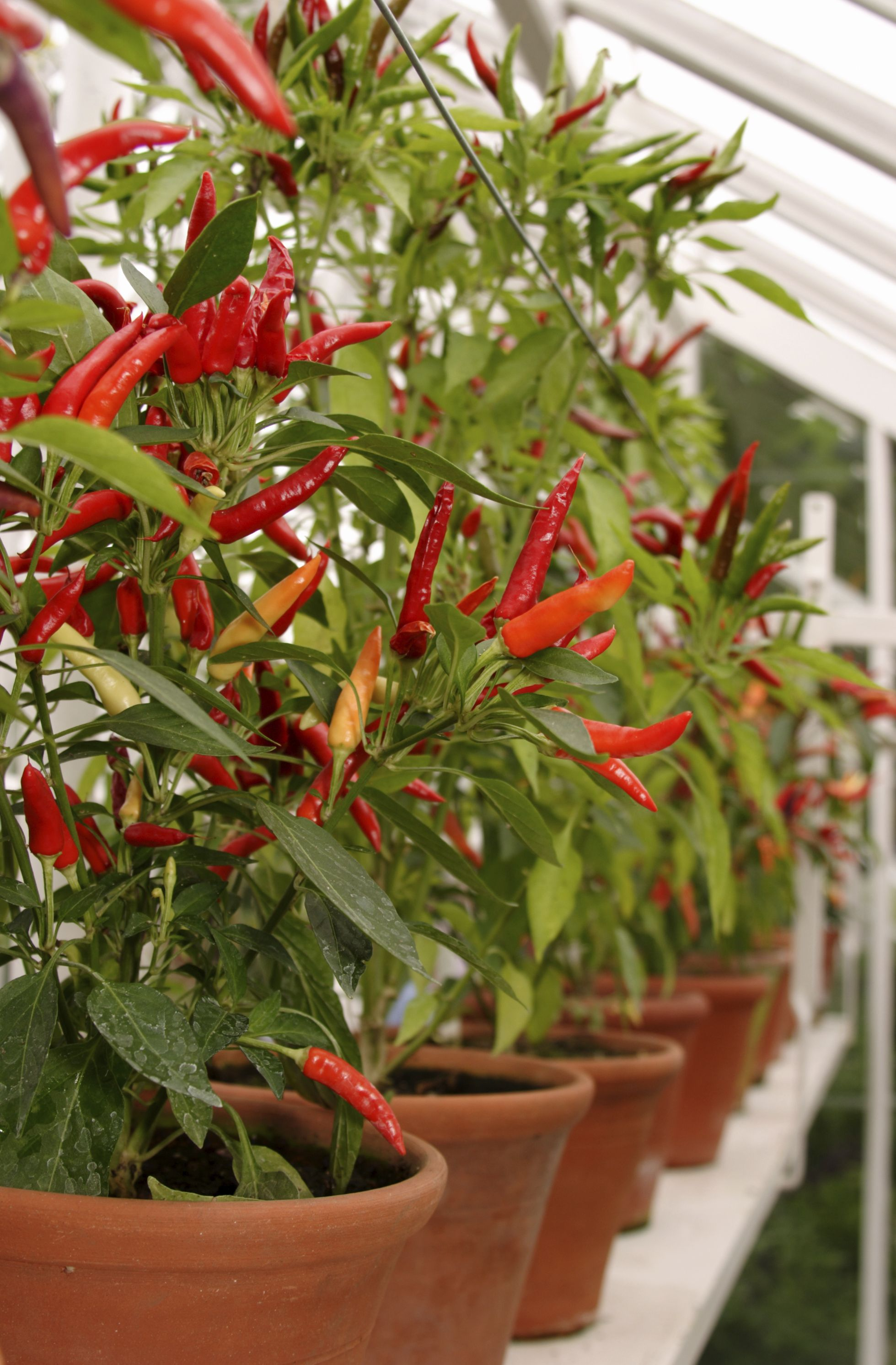 Growing Peppers In Planters How To Grow Pepper Plants In 400 x 300