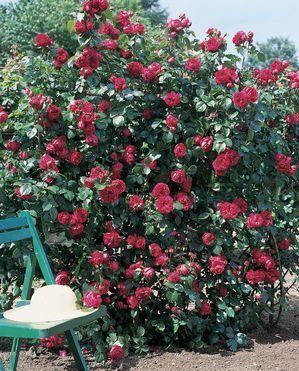 red eden rose climber david austin roses scents in. Black Bedroom Furniture Sets. Home Design Ideas