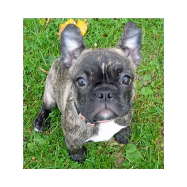 Lola The Boston Terrier French Bulldog Mix Puppies Daily