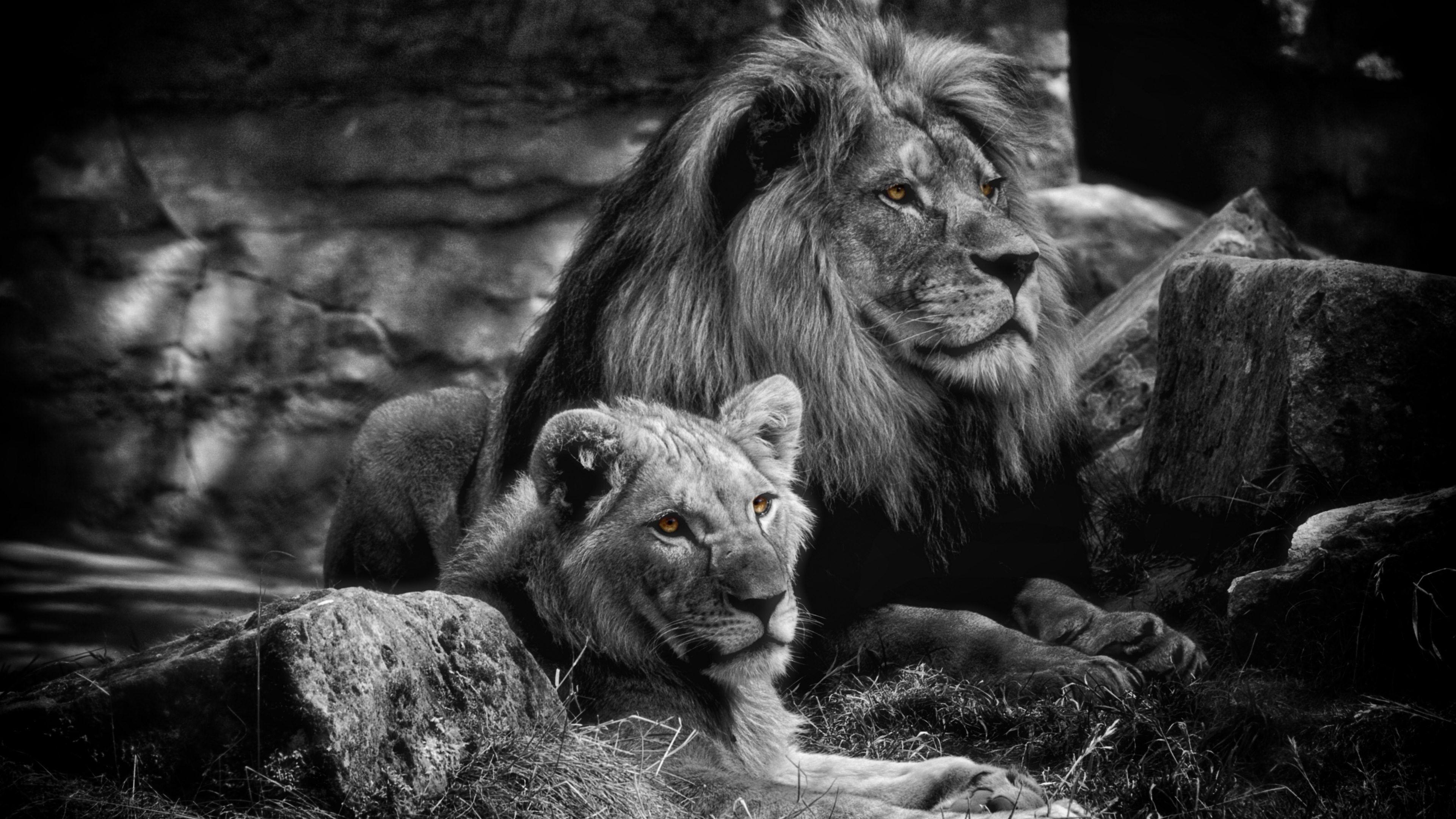 Desktop Background lion Black and white lion, Animals