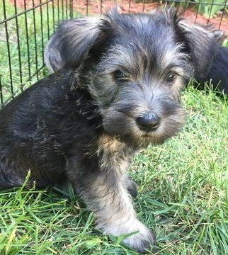 Schnauzer Miniature Puppy For Sale In South Bend In Adn 34933