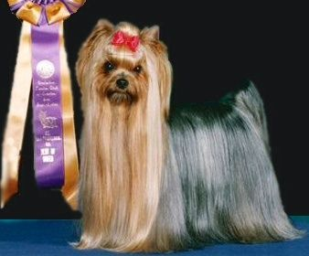 Champion Yorkie Yappy Yorkshire Terriers Yorkshire Terrier