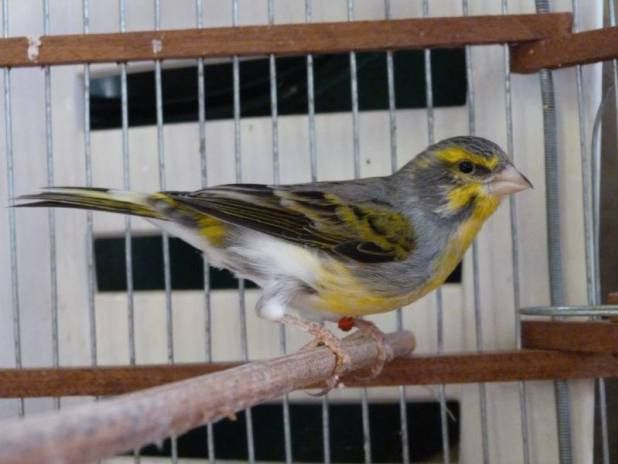 Serin Mozambique X Canary Finches Bird Canary Bird
