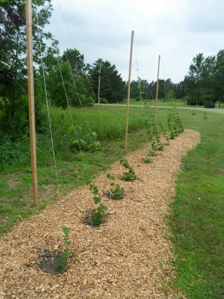 Growing hops at home google search garden things for Hops garden designs
