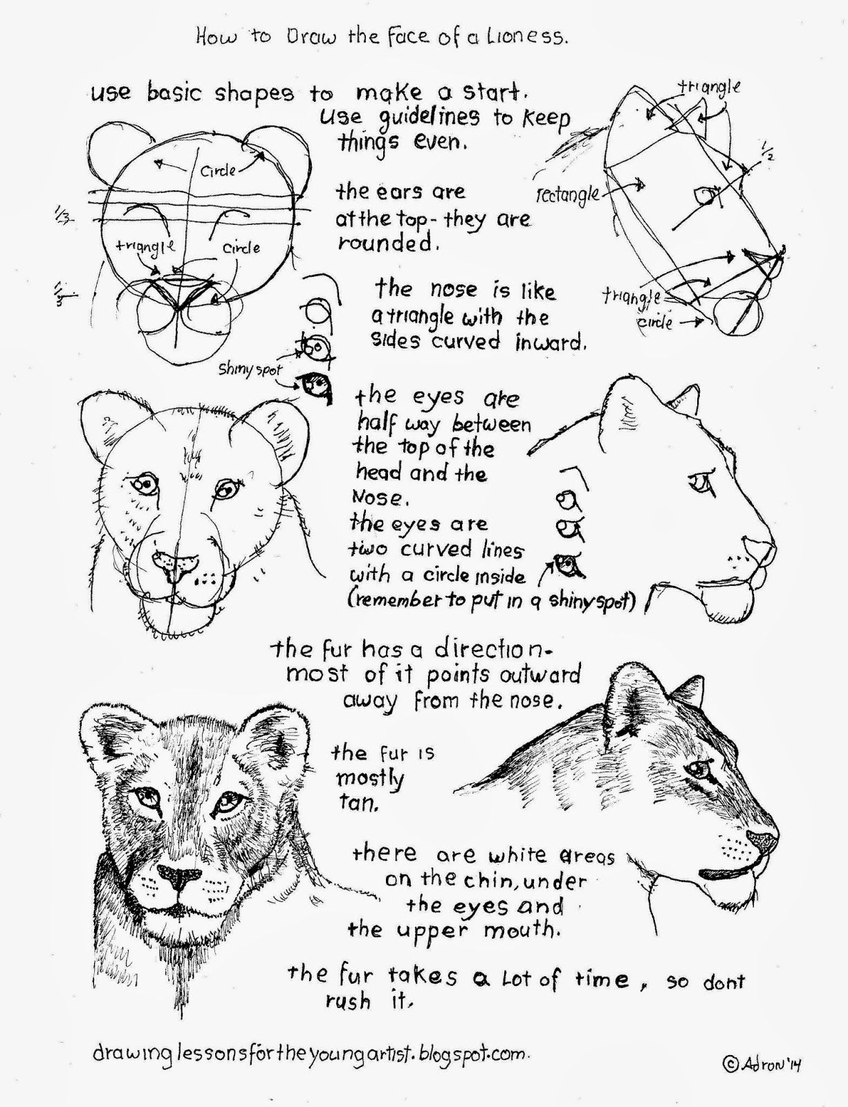 How To Draw A Female Lioness Face Worksheet Animal Drawings