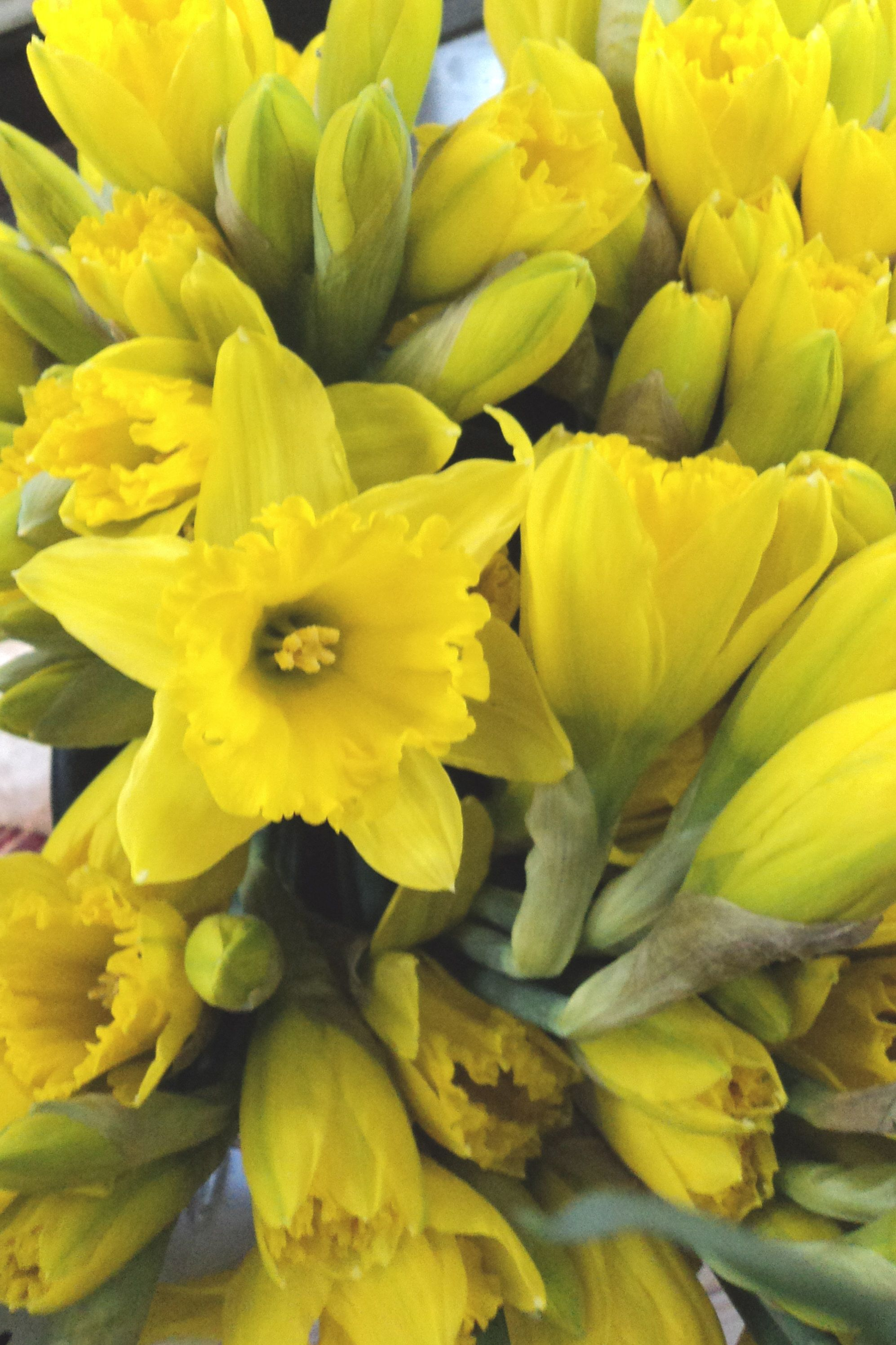 Daffodils Herald The Coming Of Spring With Their Trumpet Shaped
