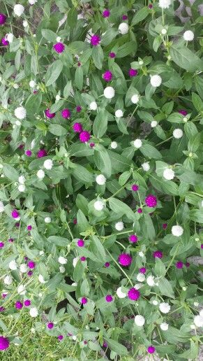 Globe Amaranth Or Bachelor Button As Referred To In Guyana And The Caribbean These Small Beautiful Flowers Gr Globe Amaranth Growing Flowers Beautiful Flowers