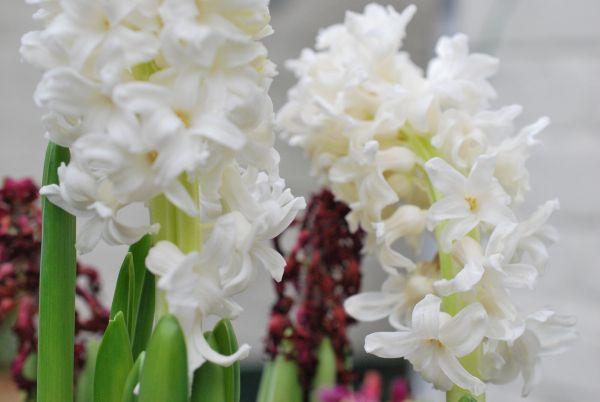 2013-01-04 23.23.37 Hyacinths