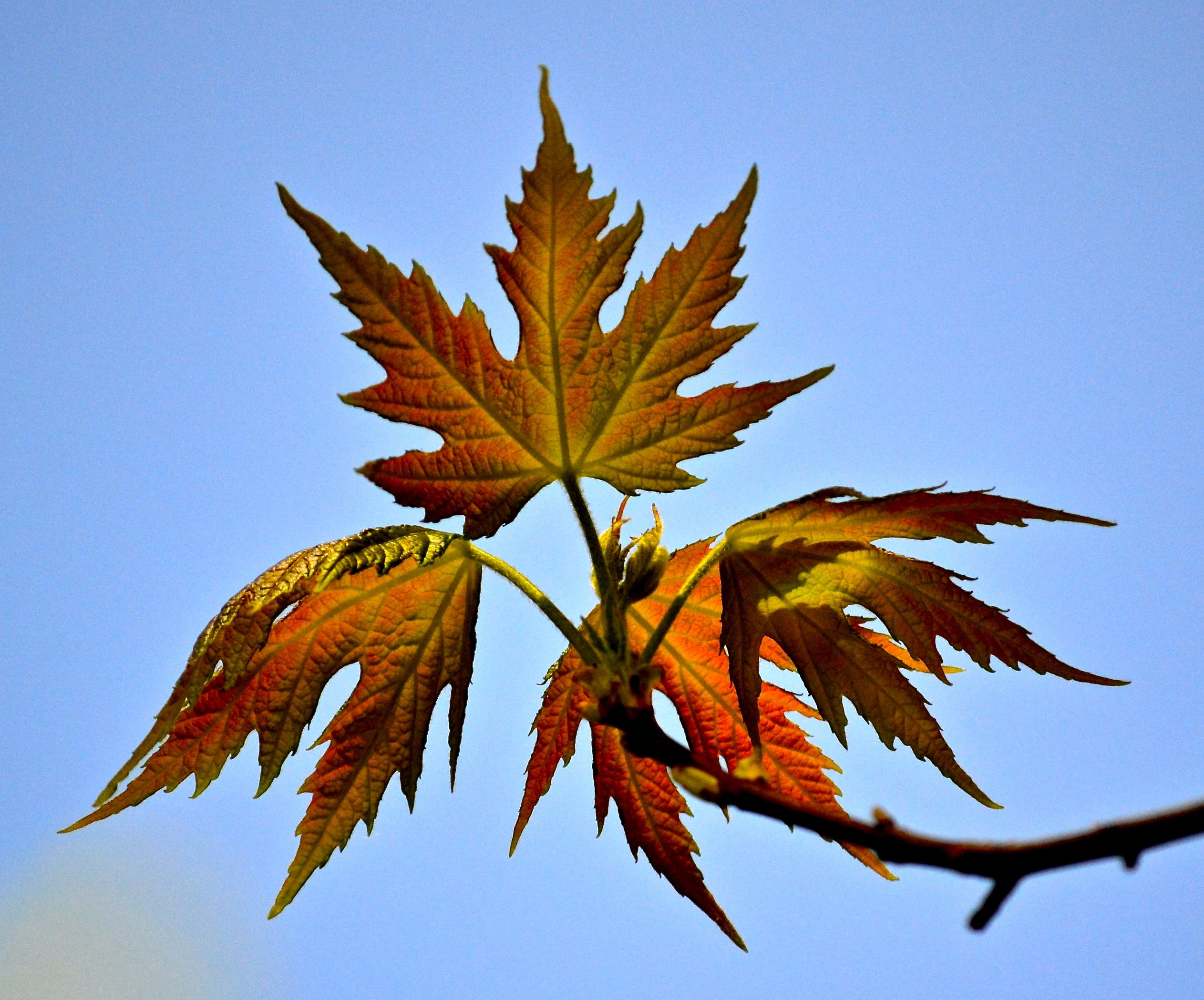 Spring Leaves Autumn Colors Silver Maple In Early Spring Silver Maple Leaf Silver Maple Fall Colors