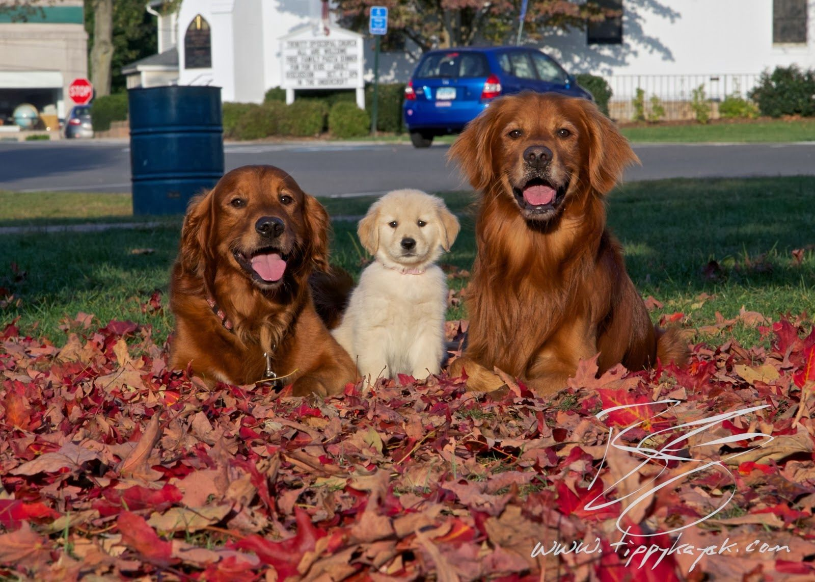 Where to find a red Golden Retriever, where to find a ...