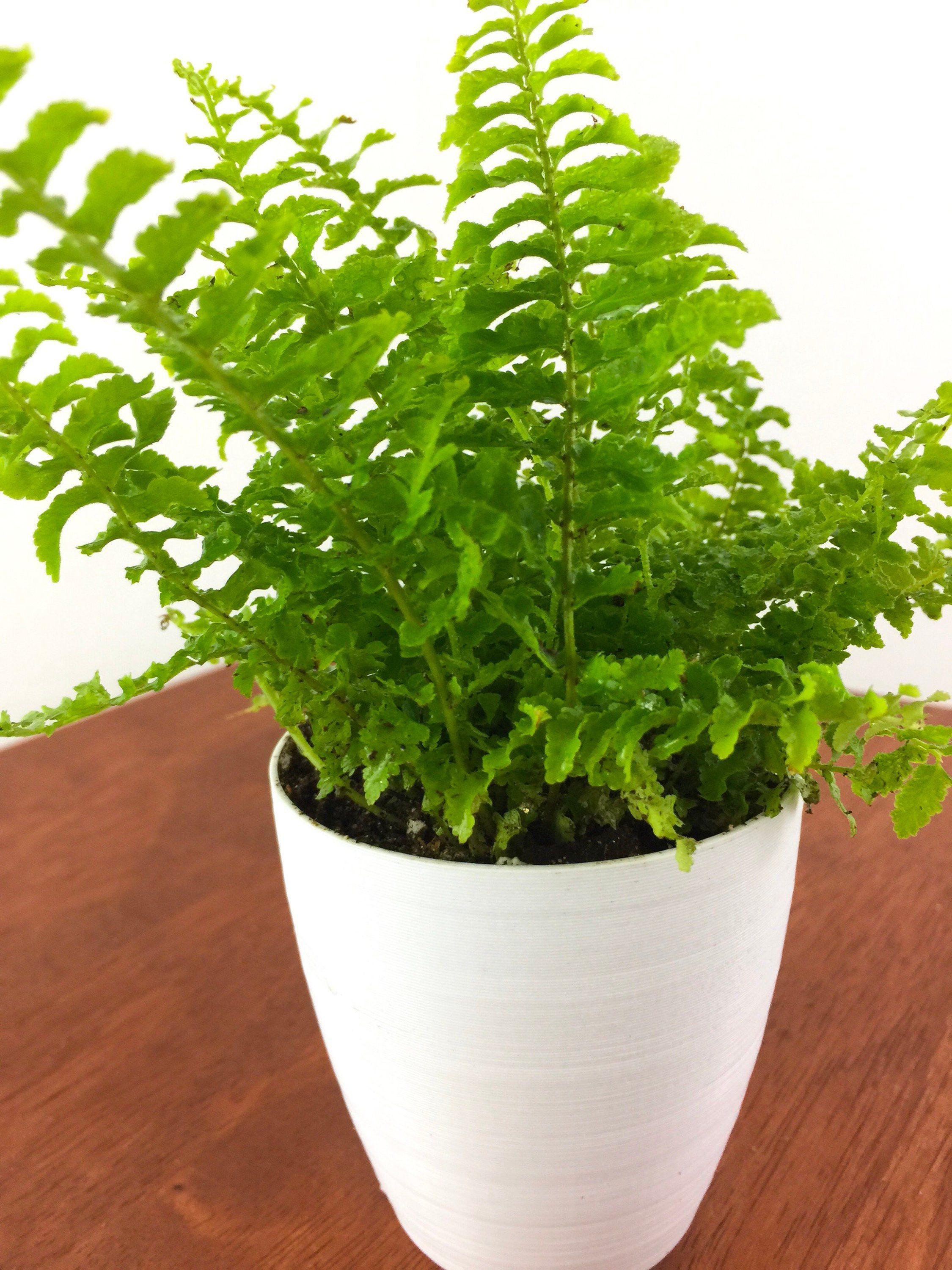 Baby Fern Air Purifying Plant Pet Safe Live Houseplant