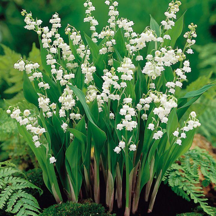 Resultado De Imagen De Convallaria Majalis Flower Bulbs Garden Lily Of The Valley Lily Of The Valley Flowers