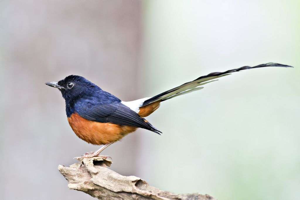 White Rumped Shama Horse Pictures Colorful Birds Animals