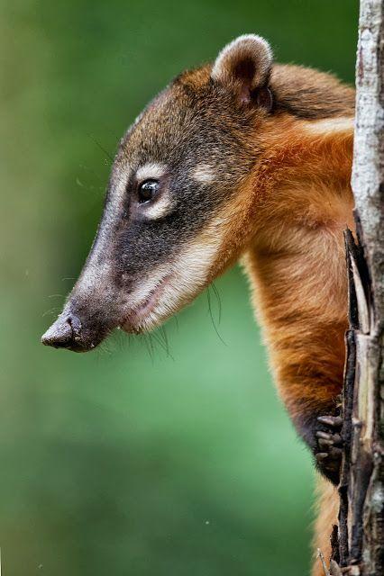 Coati-Interesting little character.  So many animals I've never heard of!!