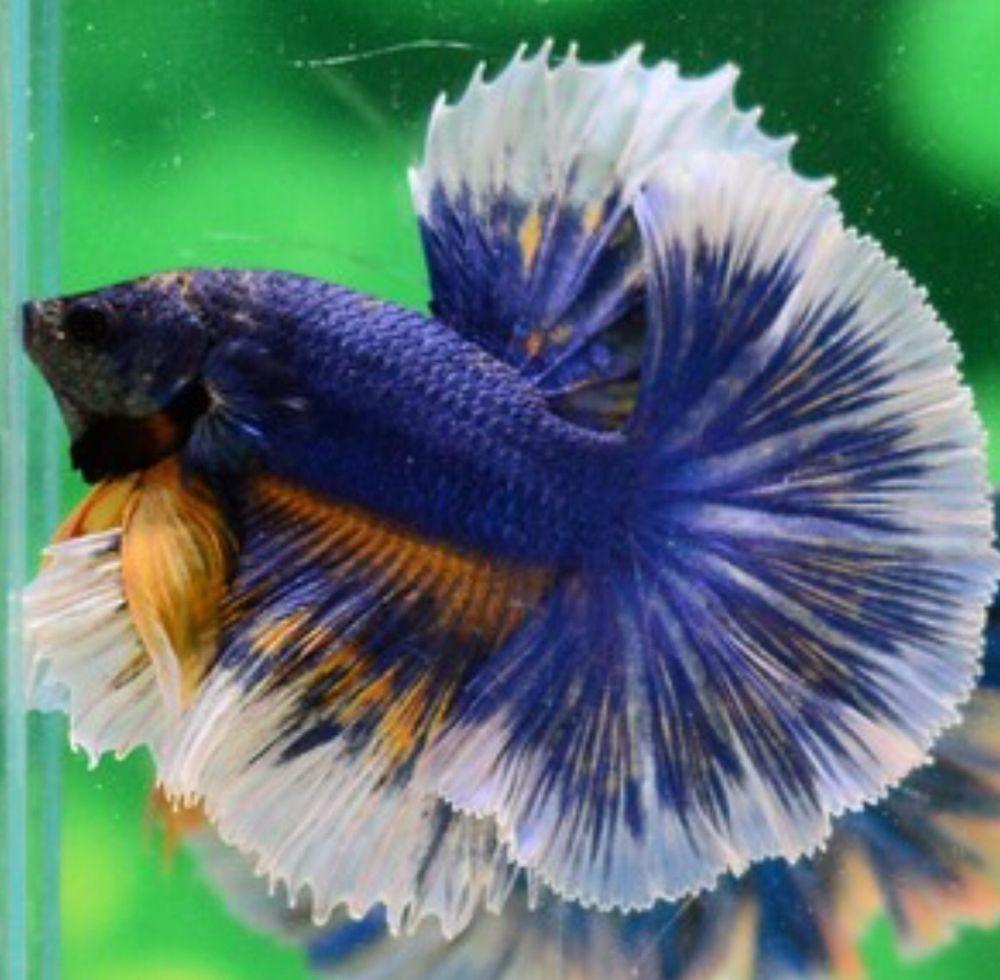 Male blue mustard butterfly halfmoon betta thai imp high for Butterfly betta fish
