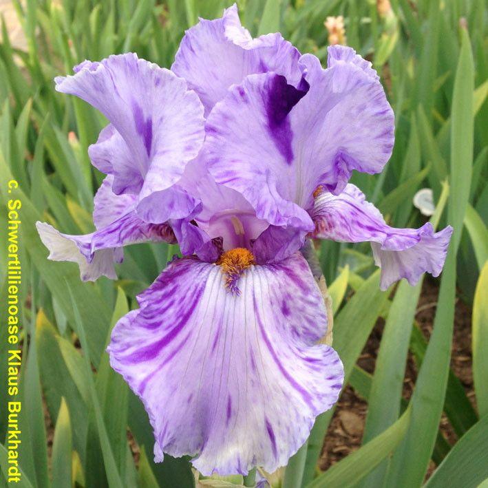 Tbelainealope Tbathrue Iris Wiki Iris Garden Iris Farms