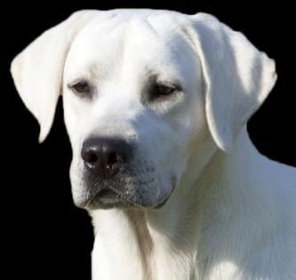 White Labrador Retriever Studs White Labrador Labrador Labrador Retriever