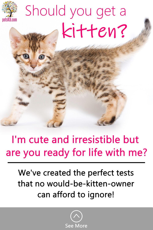 Should I Get A Kitten The Pets Kb In 2020 Getting A Kitten Kitten Cat Info