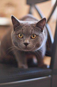 Cat Kitty Feline Grey Yellow Eyes Kat Gedrag Katten Blauwe Katten