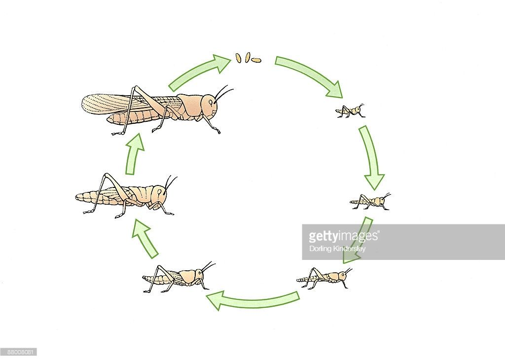 Life Cycle Of A Locust Life Cycles Free Illustrations Cycle