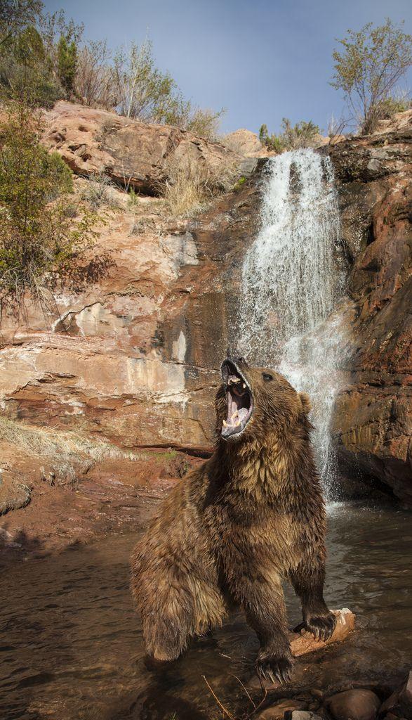 I am grizzly bear, hear me roar!