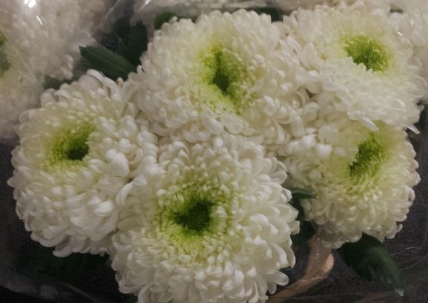 #Chrysanthemum 1head #Palisade withe; Available at www.barendsen.nl