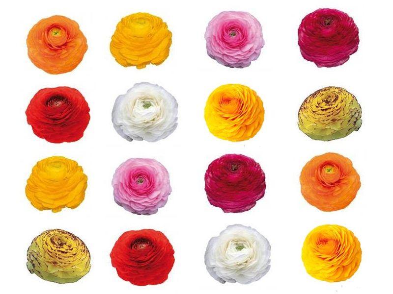 Jaloleinikkejä on tarjolla monta eri sävyä. Kokosimme sinulle ne yleisimmät värit yhteen kuvaan. Jaloleinikkien lajikkeiden sävyt ovat ihana pehmeän värisiä. Heleitä pastellinsävyjä, joita korostaa leinikin herkkä valoa läpäisevä kukinto. Kerrassaan ihanat sävyt!