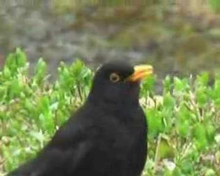 Garden Birds Blackbird Song One Of The Loveliest Sounds In The
