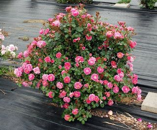 Shrub rose 'Treasure Trail' bred/selected to have a nice bushy growth habit.