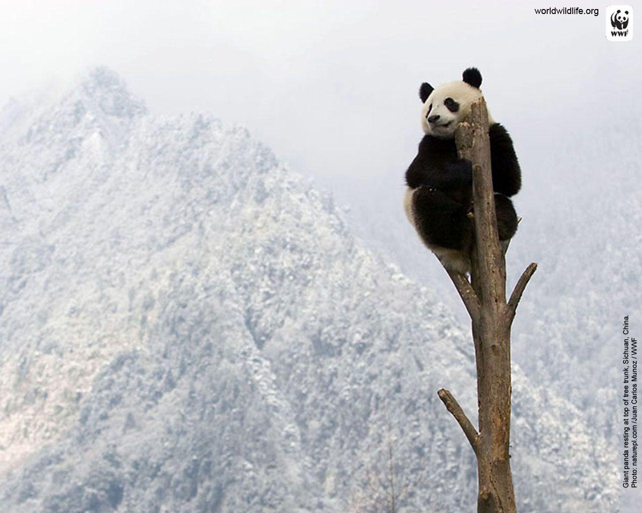 Panda Wallpaper Wwf Wildlife Wallpaper Wwf Panda Panda Wallpapers