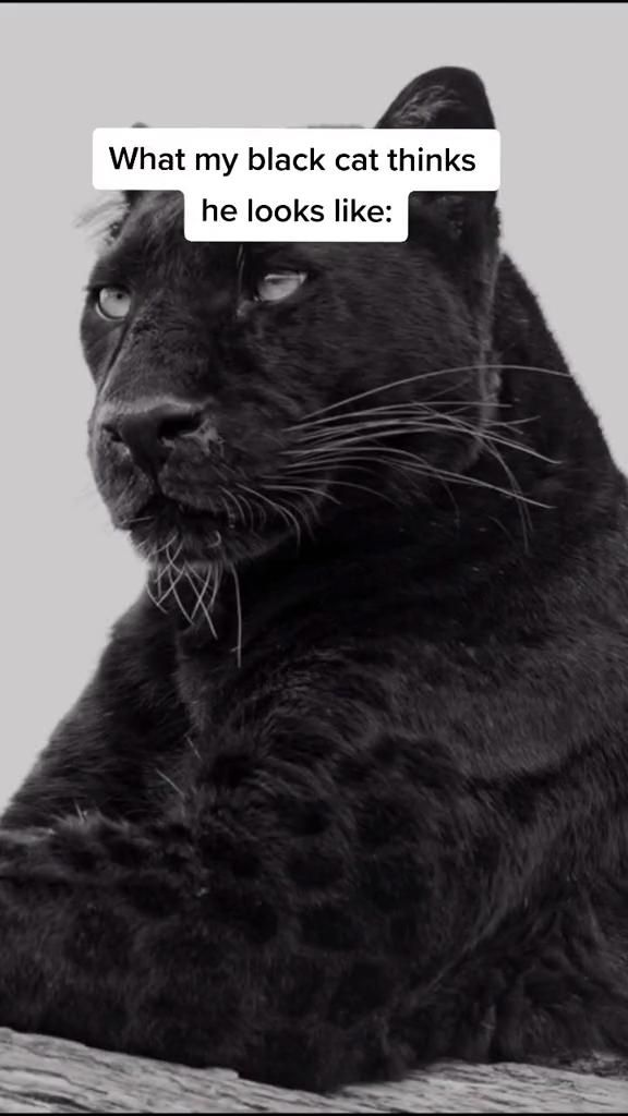 Anyone else's black cat think they look like this?