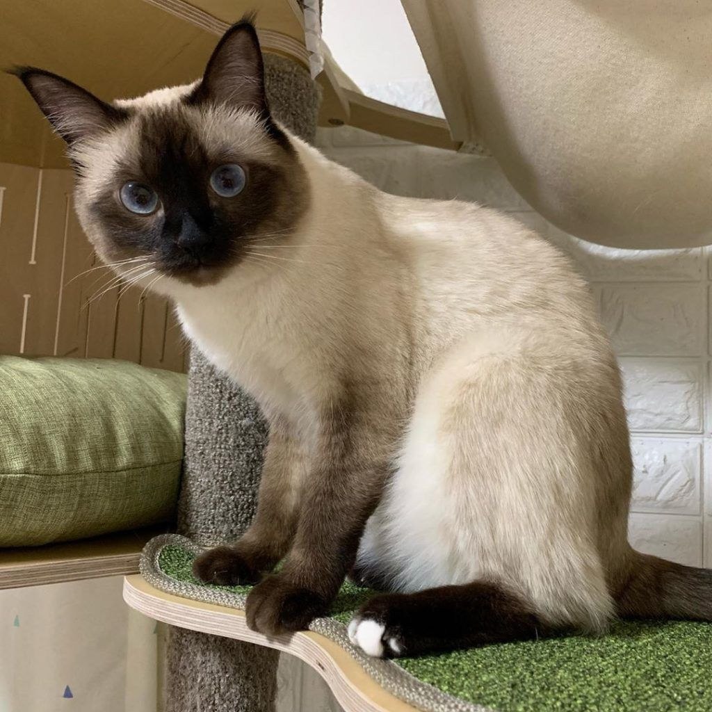 Products Angela's Siamese Kittens Home in 2020 Siamese