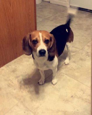 Male dog called Baxter Lakeland, Baltimore, Maryland