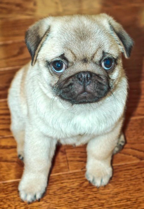 Have you been thinking about adopting a Pug? This is your