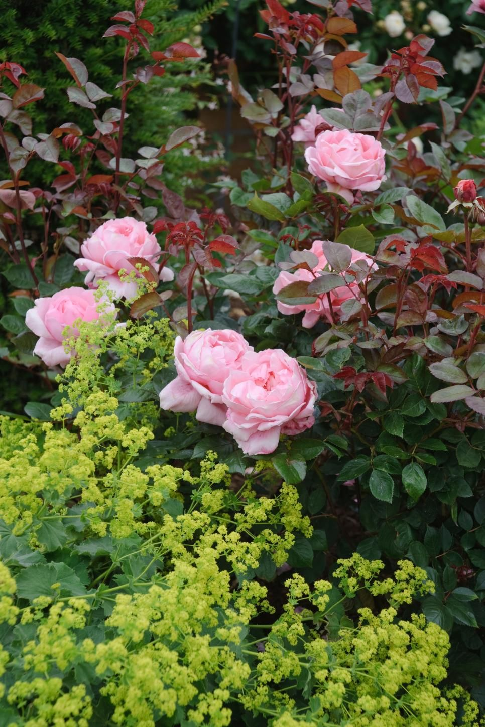 The most popular english roses in america landscaping pinterest british rose breeder david austin creates some of the most beautiful flowers in the world find out which roses are most in demand in american gardens izmirmasajfo