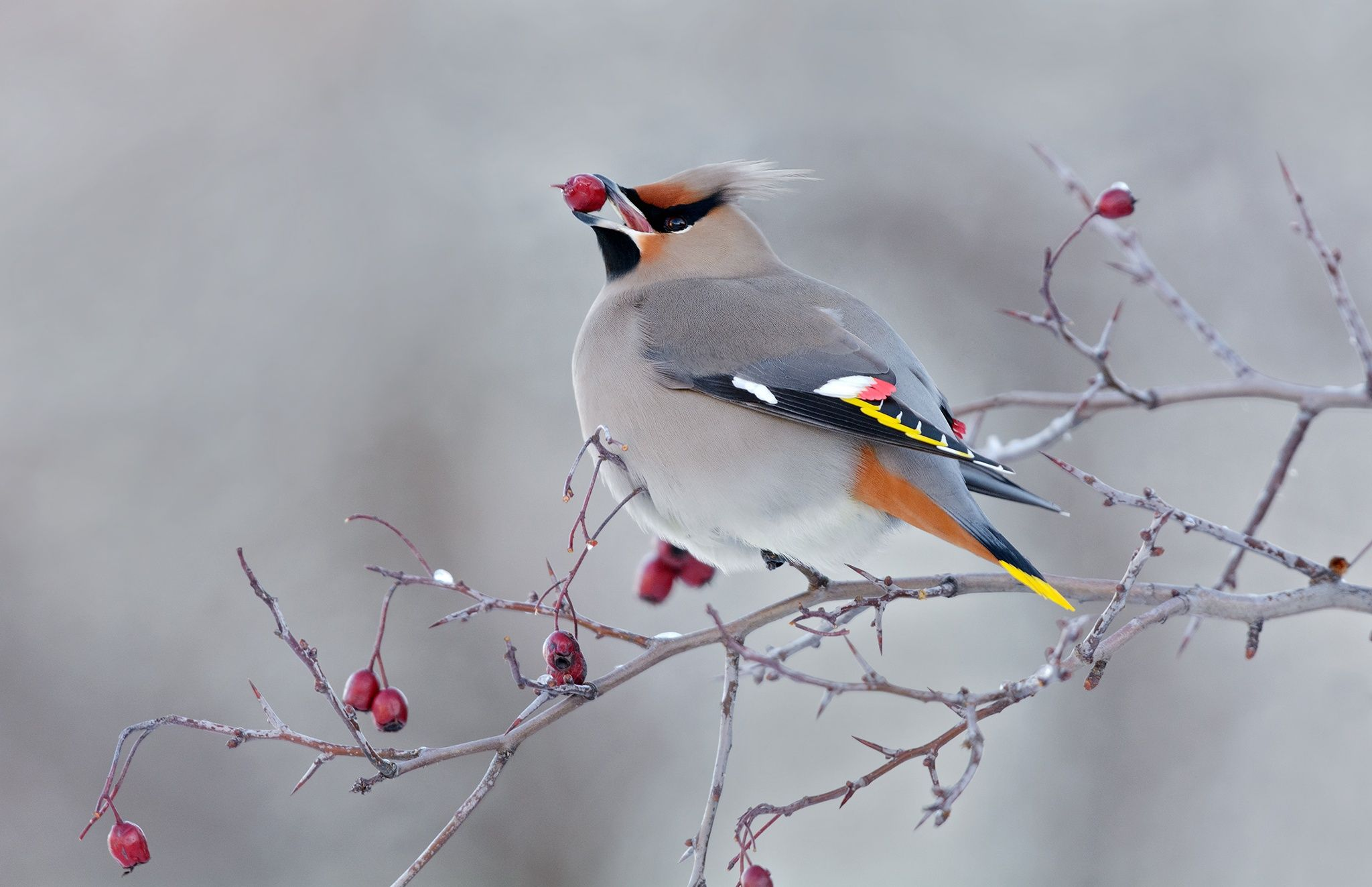 It's been 2 years since the last time I got to photography Bohemian Waxwing so getting a short 20 min session with them over the weekend near Quidi Vidi Lake, St.John's, NL was a nice treat.  To see more of my work check out my website at  www.bradjameswildlifephotography.com/ please take a moment to Like my new Facebook page so you can following along with me there as well www.facebook.com/bradjameswildlifephotography