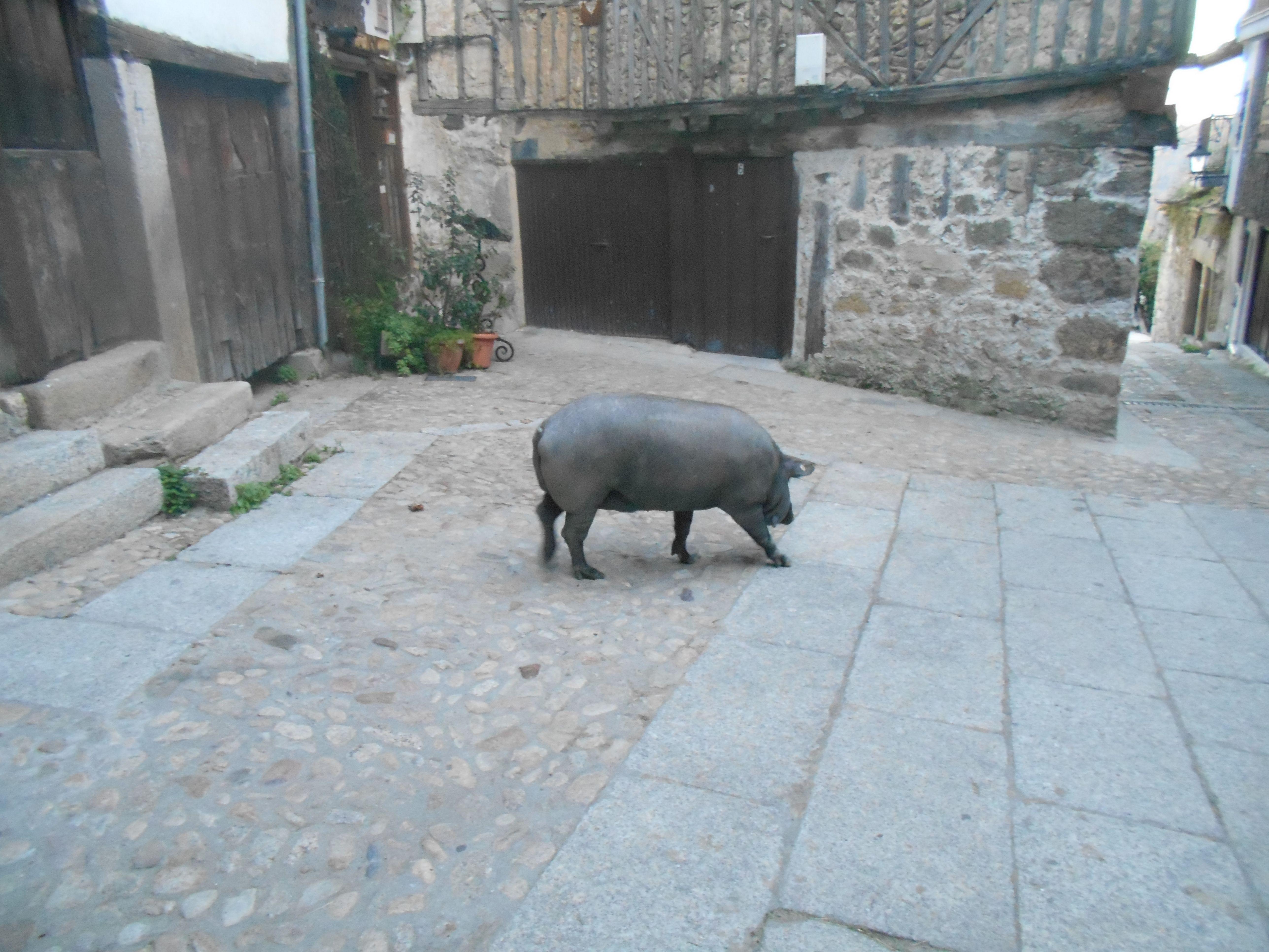El Marrano de San Anton, en este caso marrana en el Barrio Hondo.