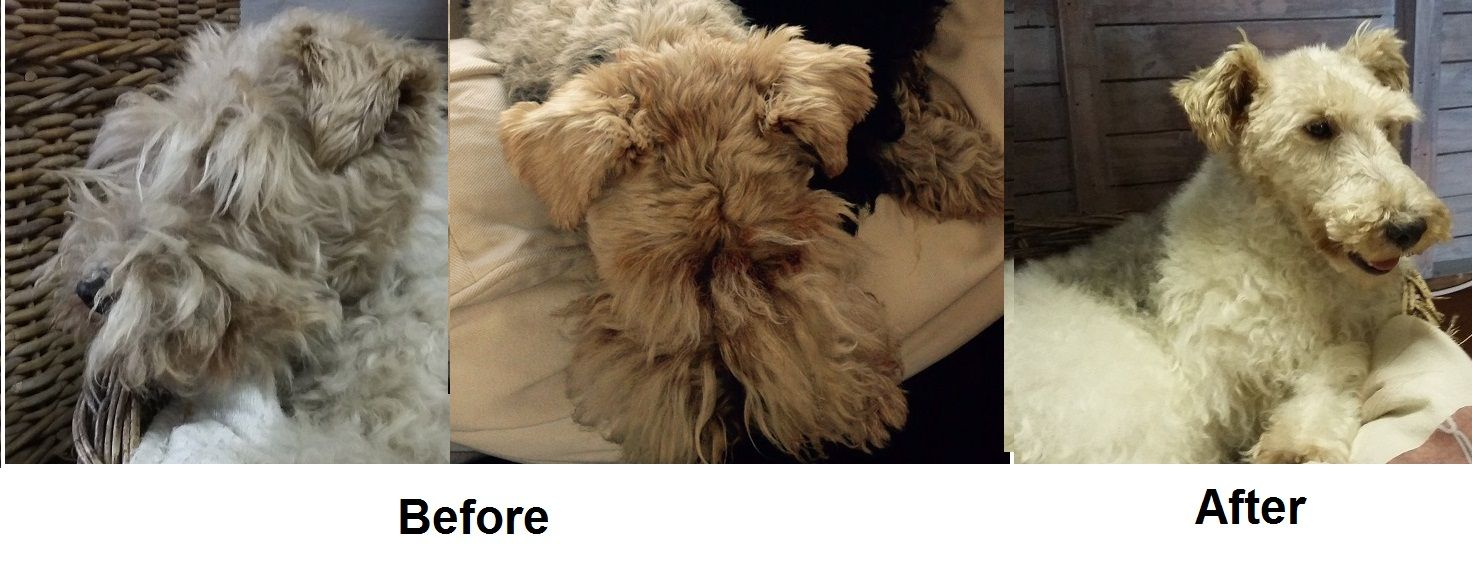 This Wire Haired Terrier (7 years old) came into The Doggy