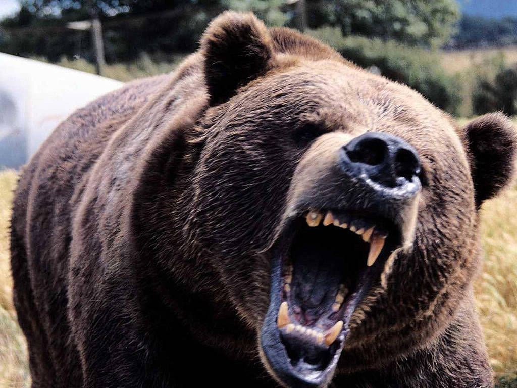 kodiak bear | kodiak-bear-wallpaper-growling-showing-teeth | fav