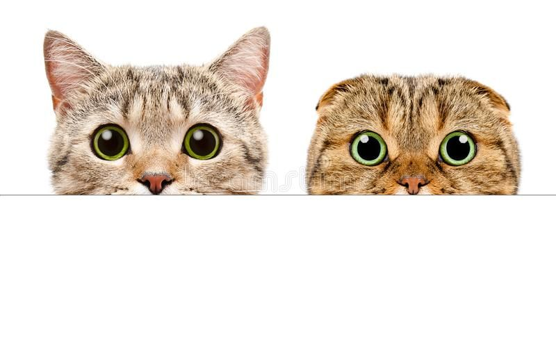 Portrait Of A Two Cats Peeking From Behind A Banner Isolated On