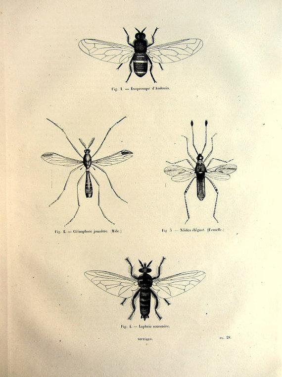 1860 Antique mosquitos flies print original by LyraNebulaPrints ...
