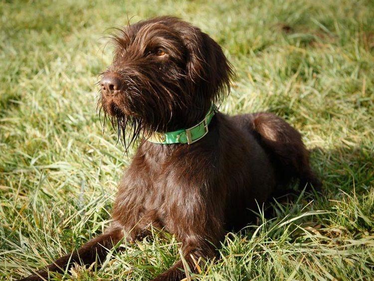 Pudelpointer Info Temperament Puppies Pictures Puppies Puppy Find Greenland Dog