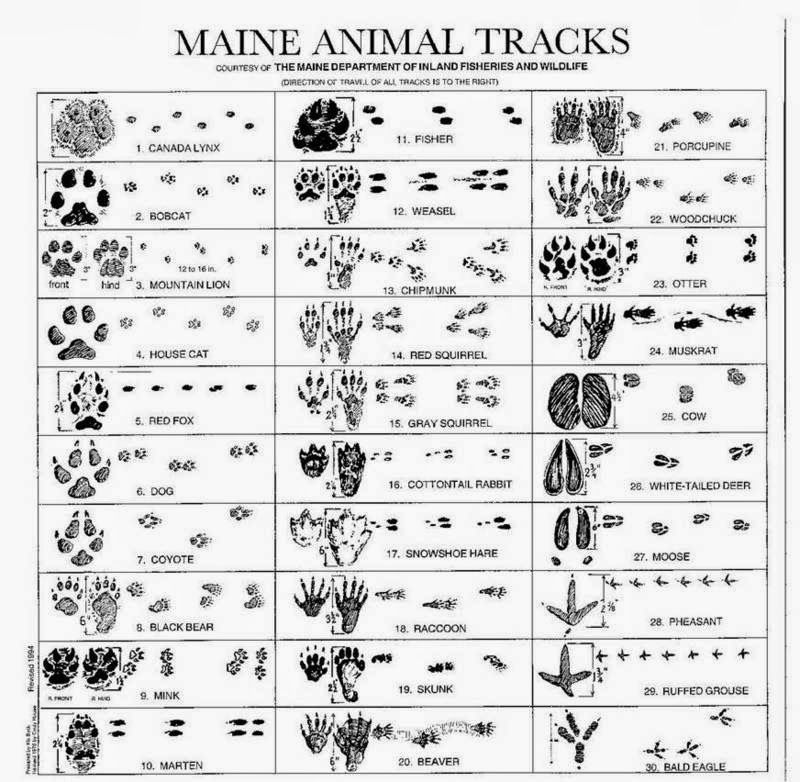Animal tracks in snow footprints bird crafts also how many can you identify maine rh pinterest