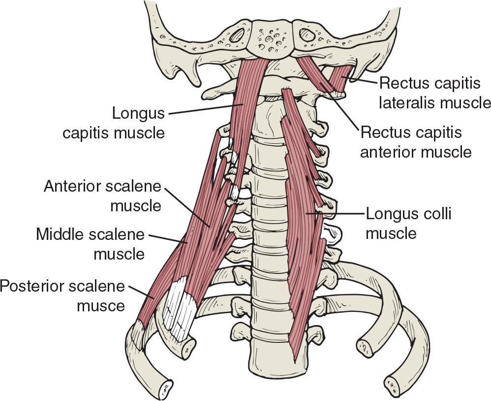 medium resolution of v sledek obr zku pro musculus longus colli self treatment body diagram muscle anatomy massage