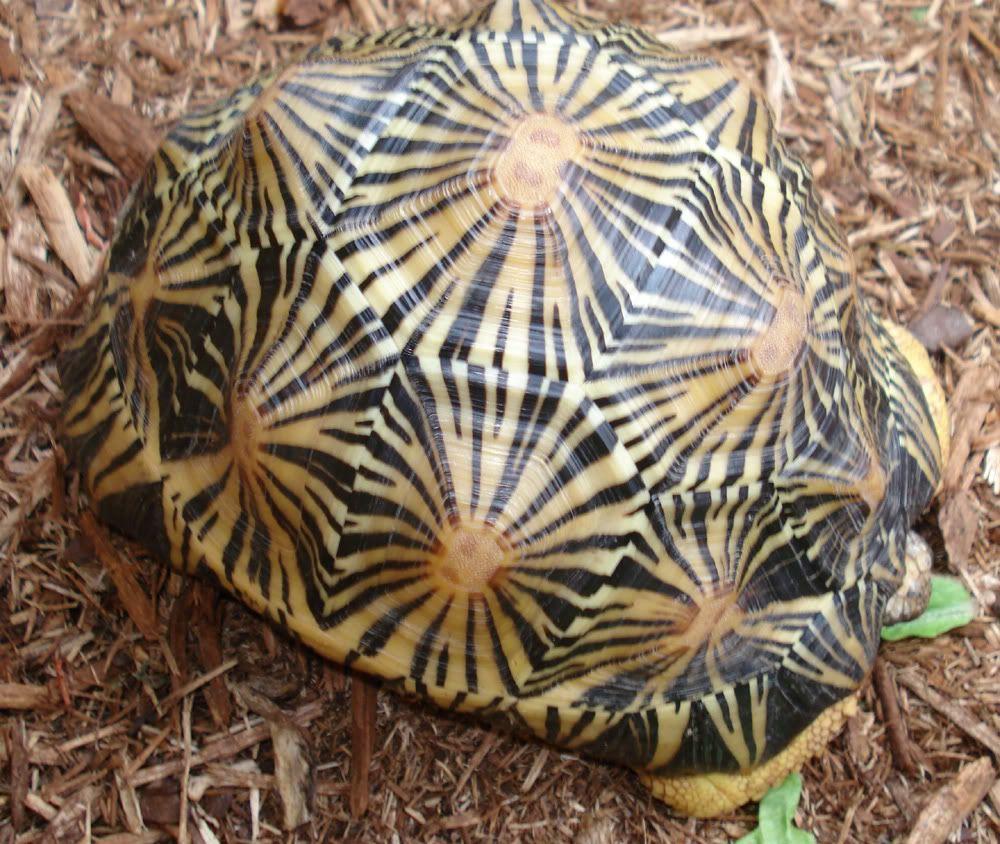 turtle shell pattern - 1000×844