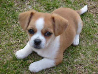 Chihuahua Shih Tzu Mix Pup Chihuahua Puppies Cute Dogs Breeds Cute Dogs And Puppies
