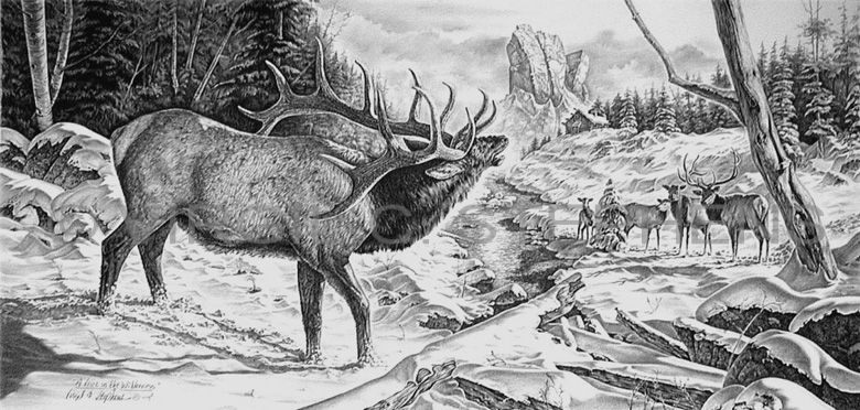 A Voice In The Wilderness Wildlife Pencil Drawing By Western