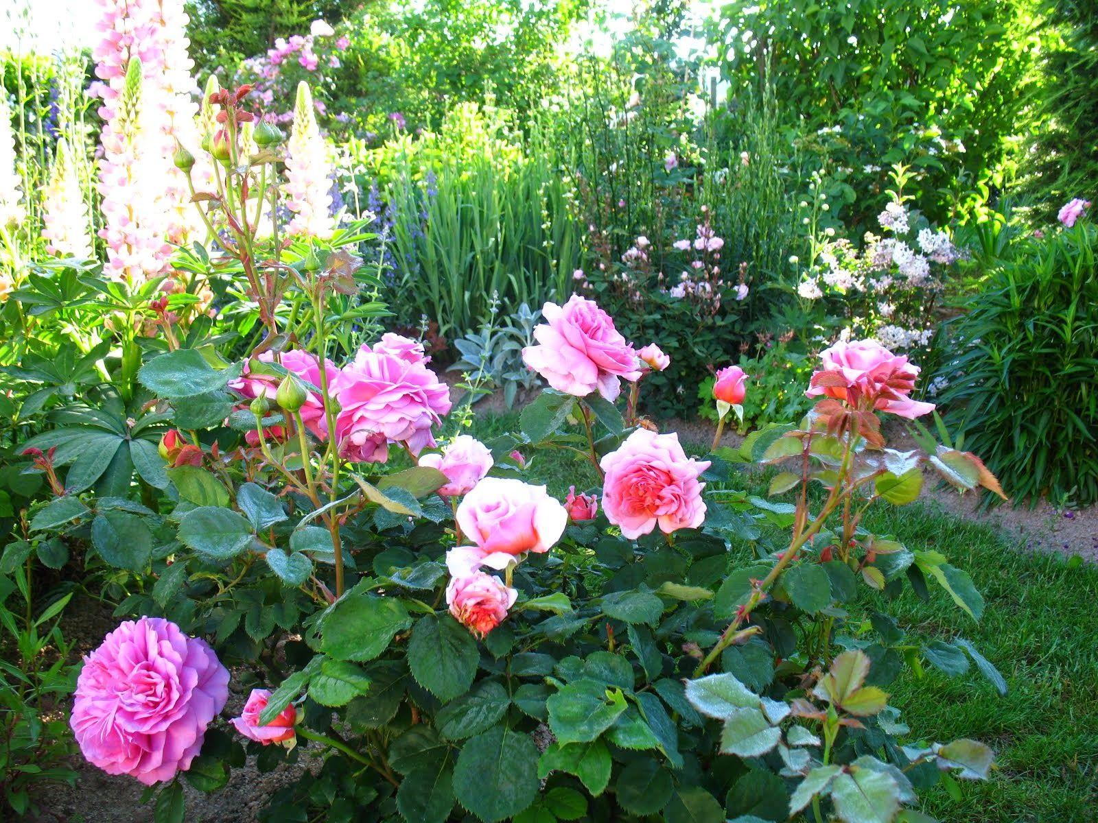 "Roses du jardin Chêneland Rosier ""Pierre de Ronsard"